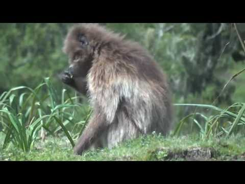 The bleeding heart of Gelada Babouins Simien Montains